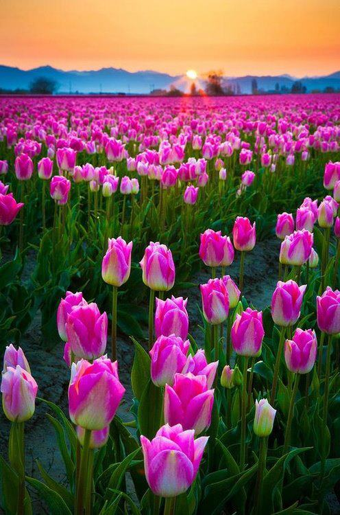 TulipFieldinWashington